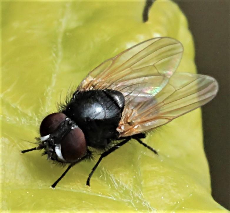 Earomyia argenta sp. nov. Adult hane habitus. Foto: Belinda Andersen.