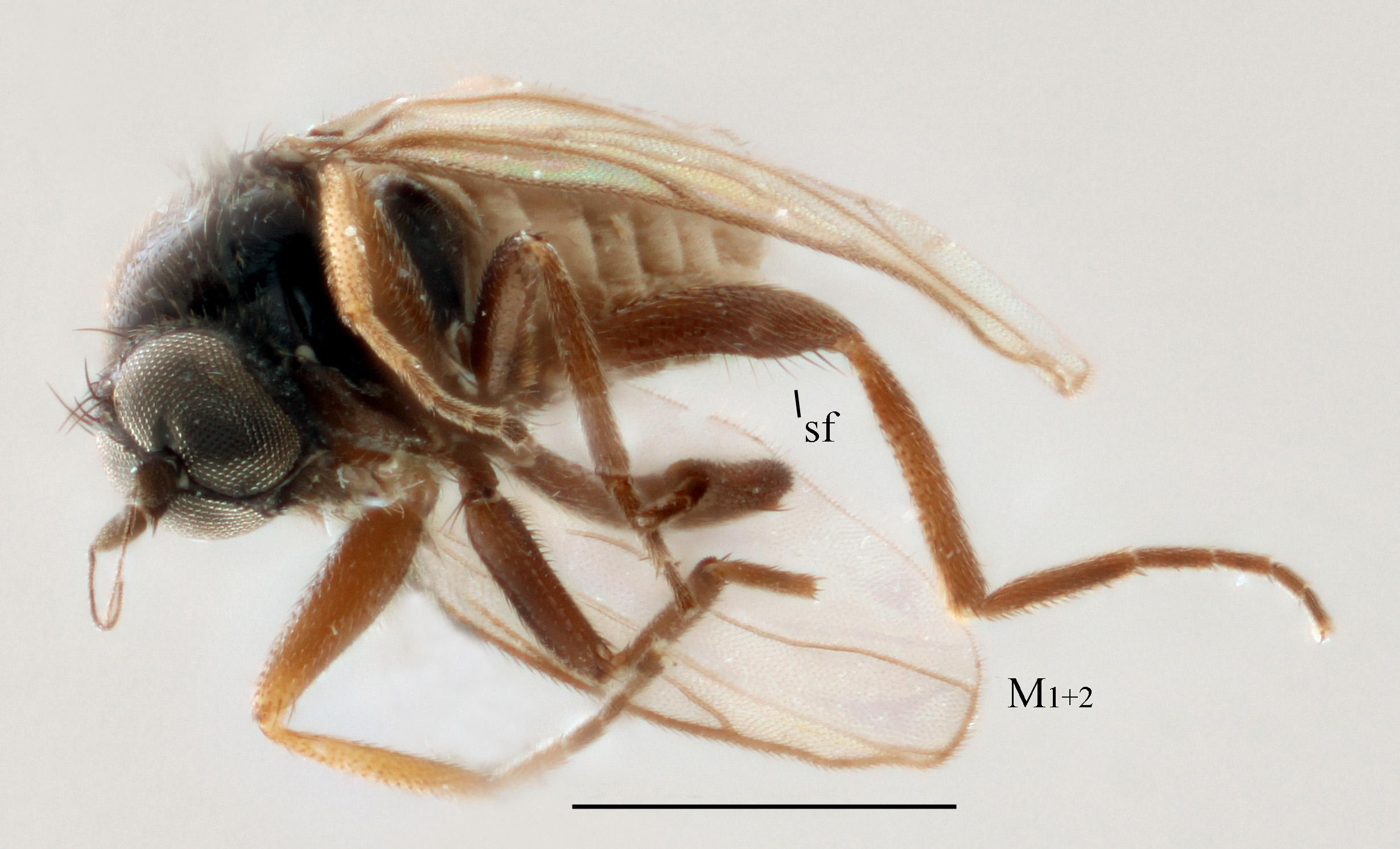 Drapetis undulata sp. nov. Holotyp hane, från Borgehage, Öland. M1+2 = den böljande vingribban M1+2, sf = tandliknande utbuktning på baklåret. Skalstreck 0,5 mm. Foto: Camille Locatelli.